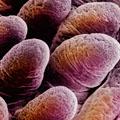 Microvellosidades
