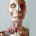 Los músculos involuntarios