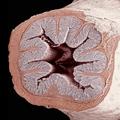 El intestino grueso