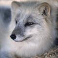 Zorro plateado: genética y comportamiento