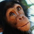 Los chimpancés, nuestros parientes