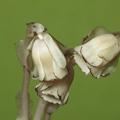 Plantas parásitas