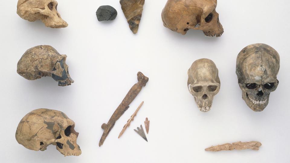 Homo habilis y Paranthropis boisei