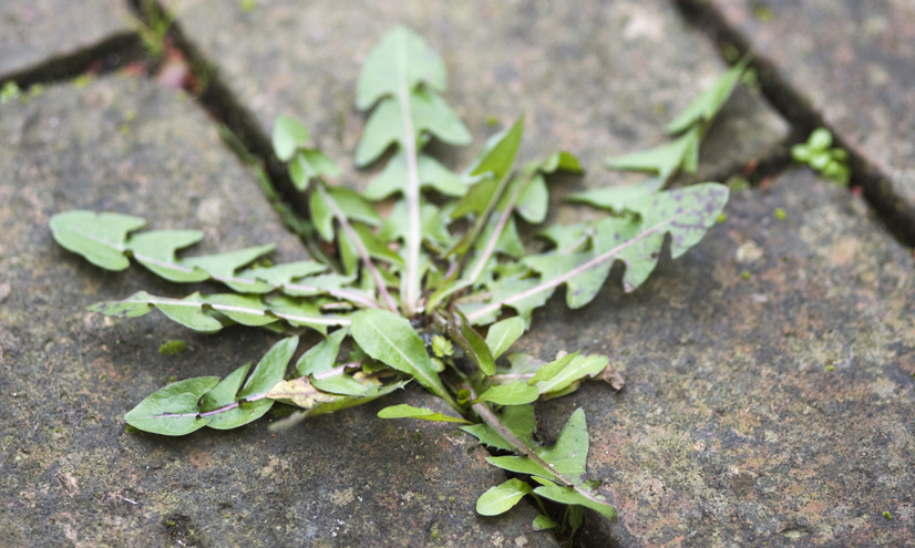 Especies vegetales invasoras