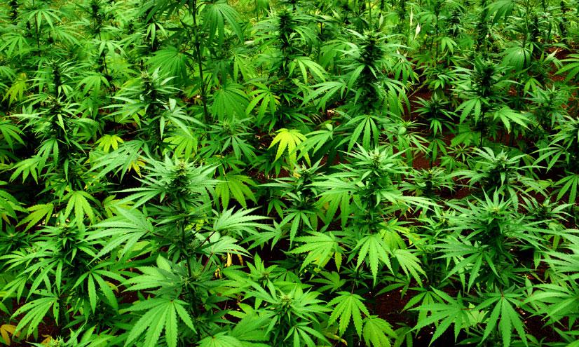 Drogas peligrosas: cannabis