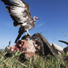 Vultures Feed On Animal Carcasses