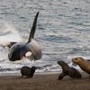 Orca Hunting Sea lions